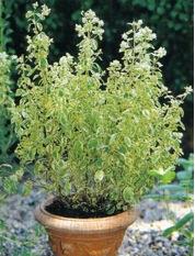 زراعة النباتات العطرية والطبية كبدائل إنتاجية وبيئية ( المرددوش )