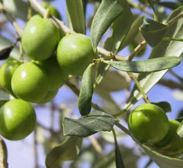 صيانة أشجار الزيتون في إطار مخطط المغرب الأخضر بإقليم جرسيف