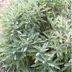 زراعة النباتات العطرية و الطبية كبدائل إنتاجية و بيئية ( السالمية )