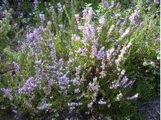 زراعة النباتات العطرية و الطبية كبدائل إنتاجية و بيئية ( الزعتر )