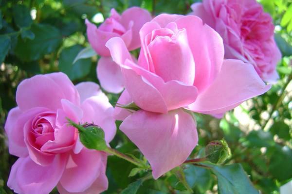 مهرجان الورود بقلعة مكونة محطة أساسية لتشجيع الفلاحين على المزيد من العطاء