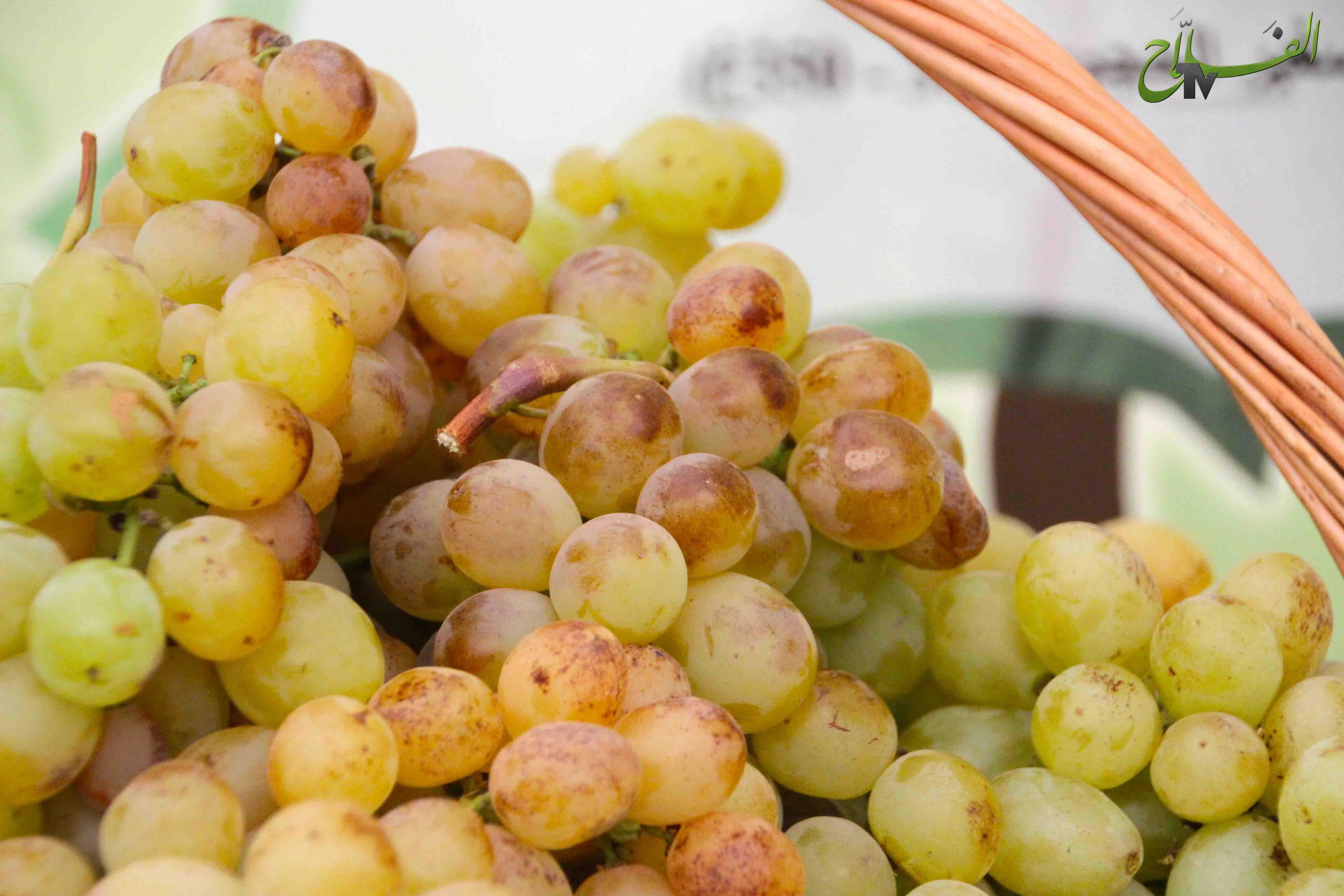 مهرجان العنب ببوزنيقة يحتفي بقطاع الكروم