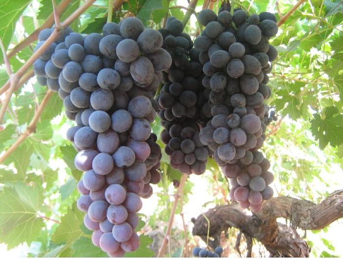 """""""العنب الدكالي ركيزة أساسية في التنمية المحلية"""""""
