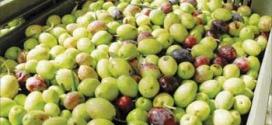 جمع وتعبئة ثمار الزيتون