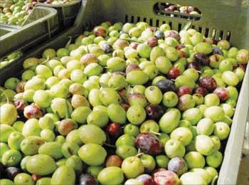 أزيد من 15 ألف طن من إنتاج الزيتون بإقليم خريبكة برسم الموسم الفلاحي 2014-2015.
