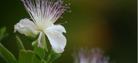 الأهمية الاقتصادية والطبية لنبات الكبار ( القبار )