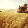 الطرق الناجعة لحصاد القمح