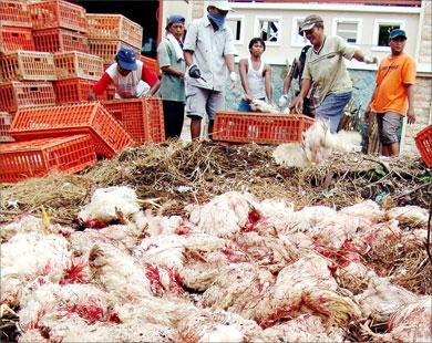 إتلاف نحو 200 ألف دجاجة مصابة بإنفلونزا الطيور