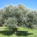 الآفات و الأمراض التي تصيب أشجار الزيتون.