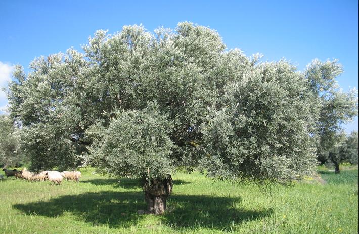 غرس 17 ألف و 407 هكتار بأشجار الزيتون بكلفة تجاوزت 189 مليون درهم بإقليم الدريوش