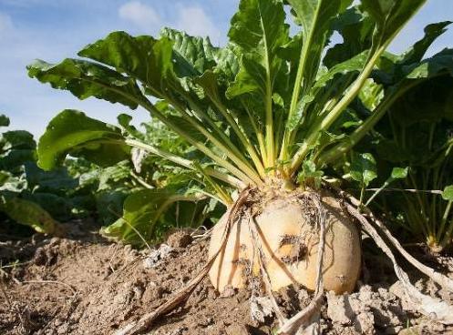 الموسم الماضي للشمندر السكري و مؤشرات هذه الزراعة  بجهة تادلة أزيلال.
