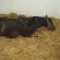 فيديو أثناء ولادة مهر.