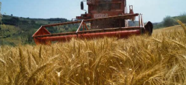 عملية حصاد و تخزين محصول القمح الصلب و اللين
