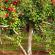 تقنيات زراعة التفاح
