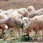 المراعي و تربية الماشية