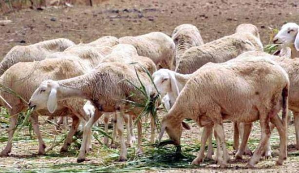 أزيد من 66 مليون درهم لتنمية المراعي و تربية الماشية بإقليم طاطا