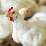 الدواجن الدجاج كتاكيت poulet