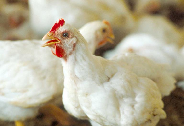 اللحوم البيضاء و البيض المسوقة بجهة طنجة تطوان الحسيمة لا تشكل أي خطر على المستهلكين (مهنيون).