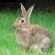 تربية الأرانب بالمغرب : بطاقات تقنية مفيذة.