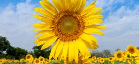 تقنيات زراعة عباد الشمس.