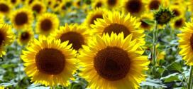 عباد الشمس : من الزراعات الإستراتيجية.