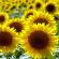 عباد الشمس : تنظيم مهني ناشئ يجب تنشيطه و تطويره.