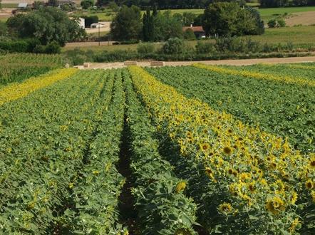 البذور و الأصناف لعباد الشمس.