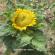 صيانة زراعة نوار الشمس.