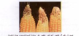 تقنيات زراعة الذرة المهجنة لإنتاج الحبوب و للسلوجة. ( الجزء الثاني )