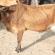 مرض السل البقري.