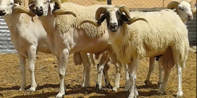 العرض المتوفر من الأغنام و الماعز بإقليم صفرو يتجاوز 503 ألف.