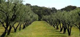 تقنيات زراعة شجرة الزيتون.