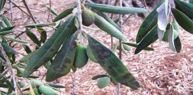 الأمراض و الآفات التي تصيب شجرة الزيتون.