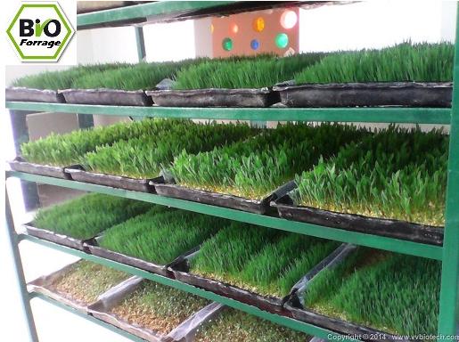 forrage Vert استنبات الشعير