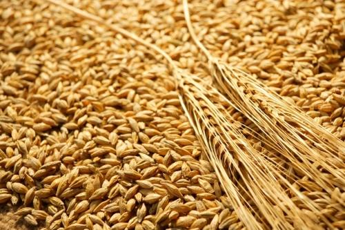 إنتاج قياسي من الحبوب بلغ 115 مليون قنطار خلال الموسم الفلاحي (2014 – 2015 )
