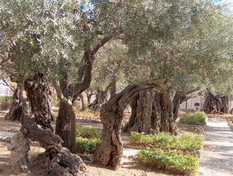 إزالة أشجار الزيتون داخل المدار الحضري لوجدة