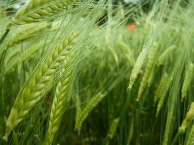 248 ألف هكتار من الحبوب بزيادة نسبتها 15 بالمائة زرعت بجهة طنجة تطوان