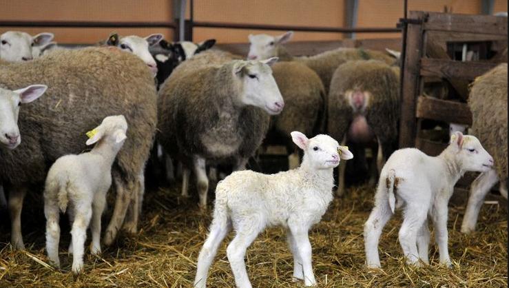 """""""Techniques d'amélioration et de maîtrise de la reproduction ovine: contraintes d'adoption et perspectives"""""""