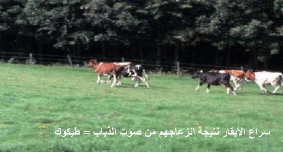 مرض النغف عند الأبقار  ( طيكوك )