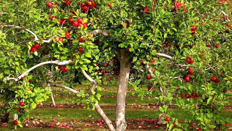 pommier pomme تفاح أشجار التفاح