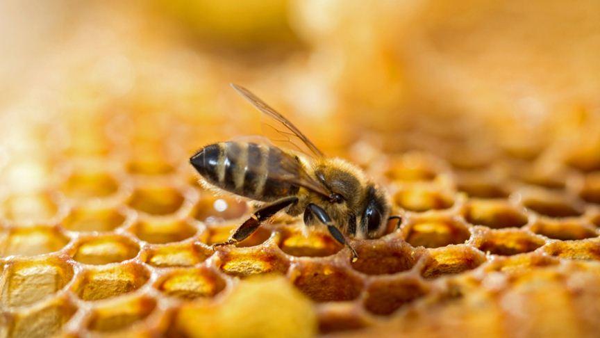 تربية النحل ABEILLE