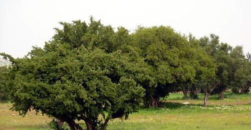 شجرة الأركان بالأطلس الكبير .. عنصر لحماية البيئة و مصدر عيش عدد من الأسر.