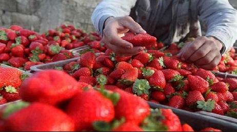 """مهرجان """"توت الأرض"""" بمولاي بوسلهام في نسخته السادسة يستقطب عددا كبيرا من منتجي هذه الفاكهة."""